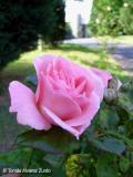 Rosa sp.