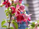 Begonia Fuchsia