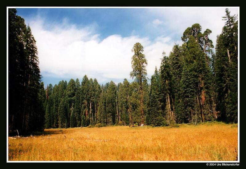 sequoia1 Kopie.jpg