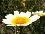 Pampilho-ordinário (Chrysanthemum coronarium)