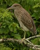 Immature Black- Crowned Night Herons