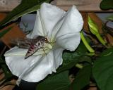 Sphinx moth 0355