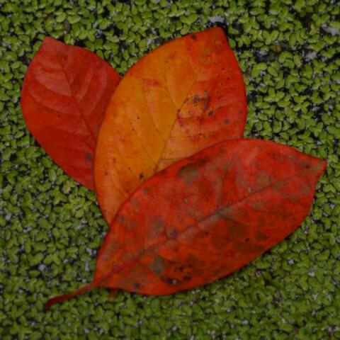 Leaves on Duckweed 2139