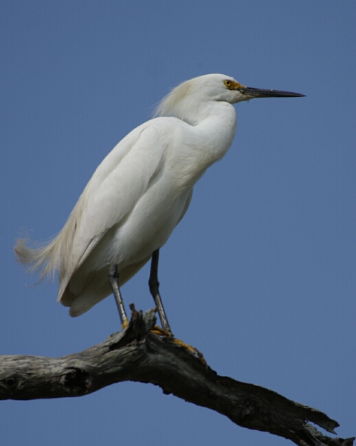 Snowy Egret 7289