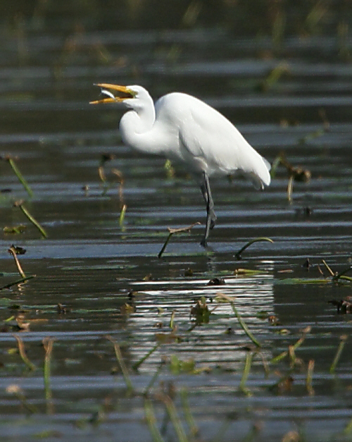 Great Egret with meal 8153