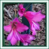 Sp.  gladiolus