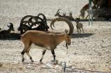 Nubian Ibex, Al Areen Wildlife Center