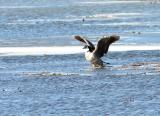 Winged Canadian Goose