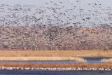 Swarming Snow Geese