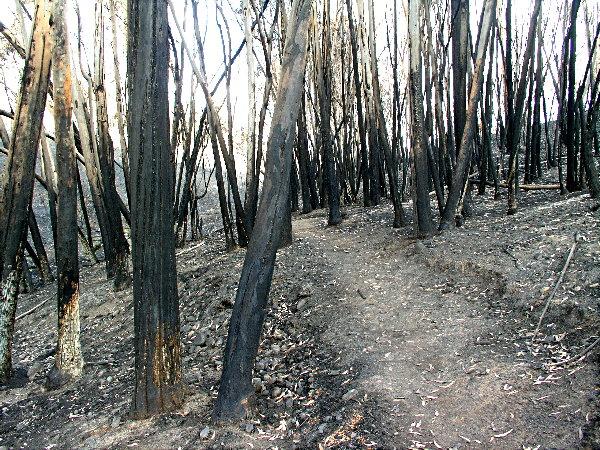 Trees Burnt Bare Along Hillside Trail