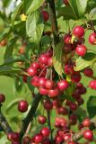 Fall Crabapples in Greely