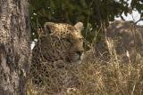 MalaMala close up Leopard