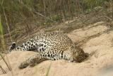 MalaMala leopard napping in the sand