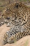 MM leopard
