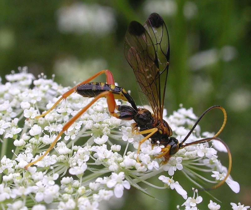 Ichneumon -- probably a male Arotes sp
