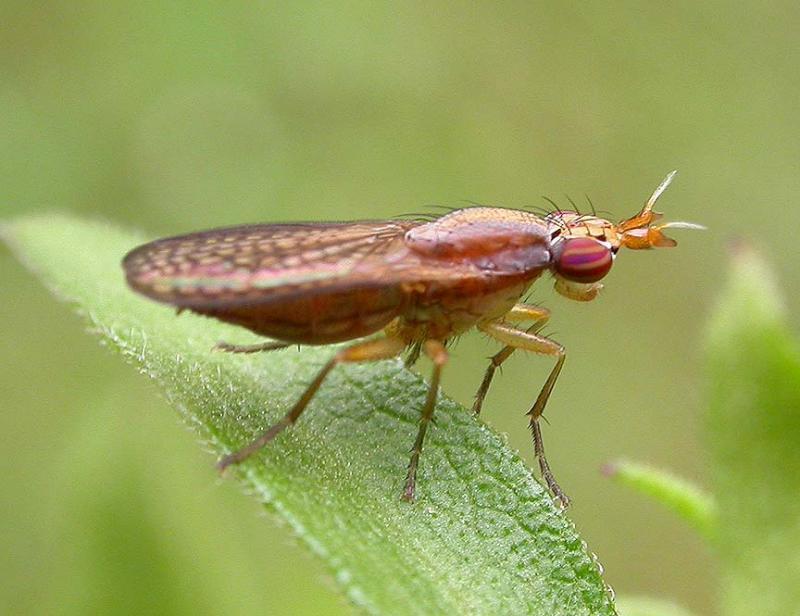 Limnia unguicornis - Marsh fly (Sciomyzidae)