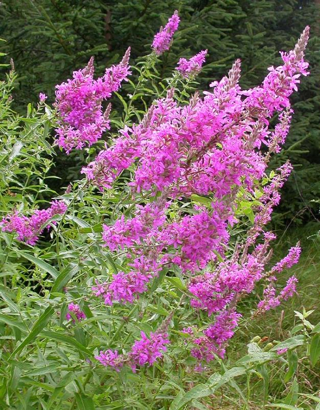 loosestrife