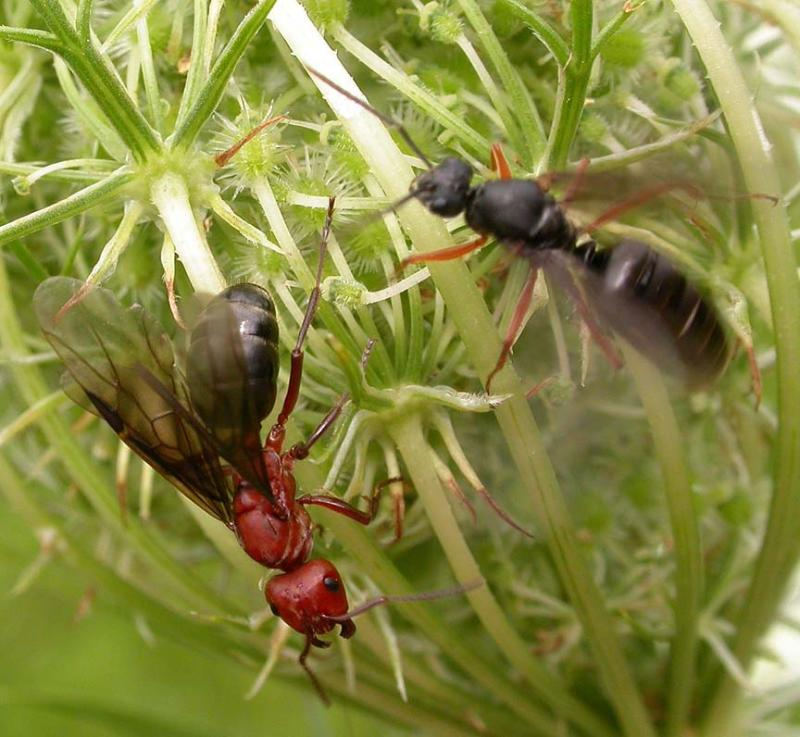 Winged ants, female left, male right, probably <i>Formica sp. </i>