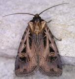 Feltia tricosa -10675