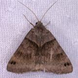 Caenurgina crassiuscula - 8738