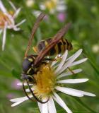 Sandhills Hornet -- Vespula arenaria -- male