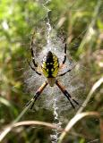 Argiope and Araneus activity -- 2004 to 2006