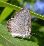Summer Azure (?) -- Celastrina neglecta neglecta (?)