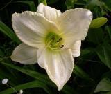 white wedding daylily