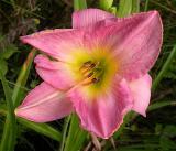 tropicana daylily