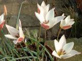 Lady Jane Tulips