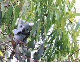 Kiwi the Koala *