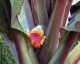 The rare and endangered Red Banana Tree Duck*