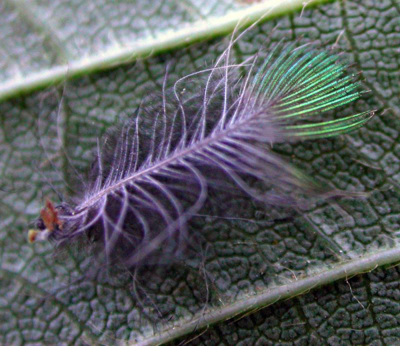 hummingbird feather photo mike wright photos at