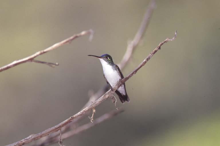 Andean Emerald Hummingbird, Tandayapa Valley