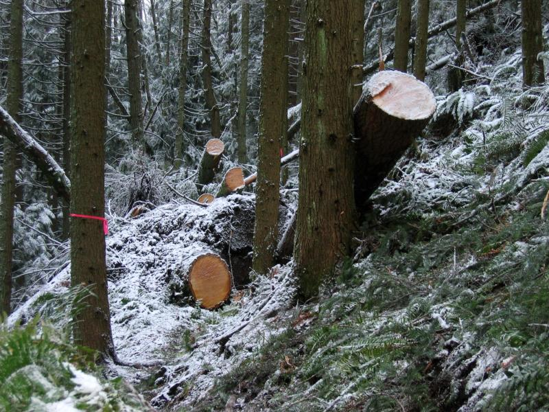 Sawed trees