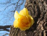Yellow Rose In a Japanese Pagoda Tree Trunk
