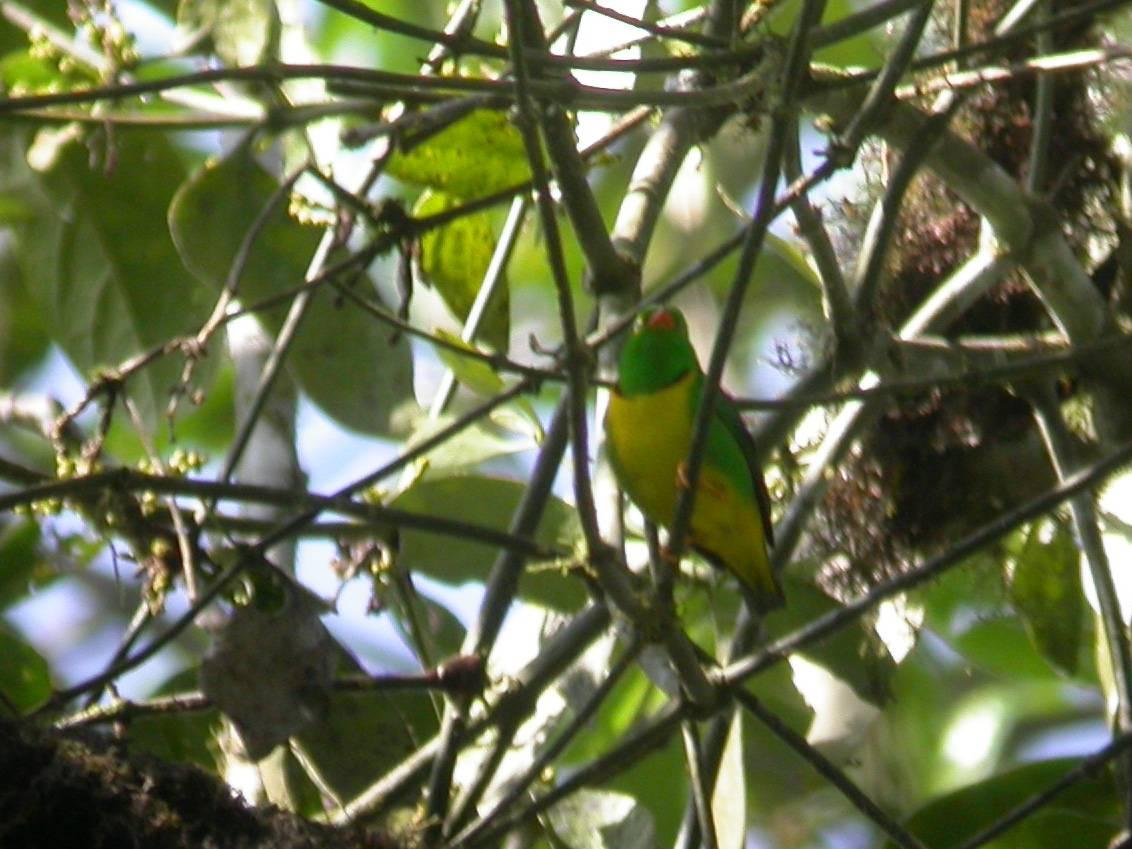 Yellow-collared Chlorophonia