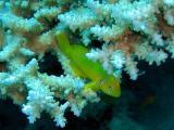 Lemon coral goby