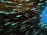 Glass fish close range