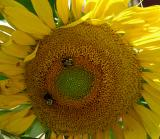 TwoBeesSunflower.jpg