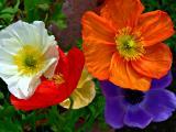 iceland poppys.jpg