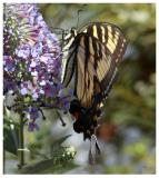 Mail Eastern Tiger Sallowtail