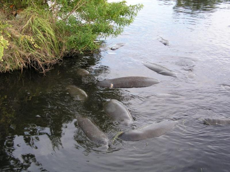 Manatees next to the Berkeley canal.