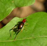 Red-headed Bush Cricket