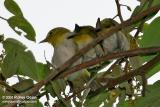 Lowland White-Eye  (a Philippine endemic)  Scientific name: Zosterops meyeni  Habitat: Common in lowlands in second growth, scrub and gardens.