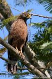 Philippine Serpent-Eagle 