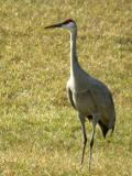 Sandhill Crane 1128