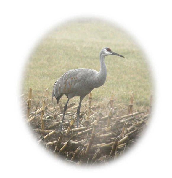 Misty Morning Sandhill Crane