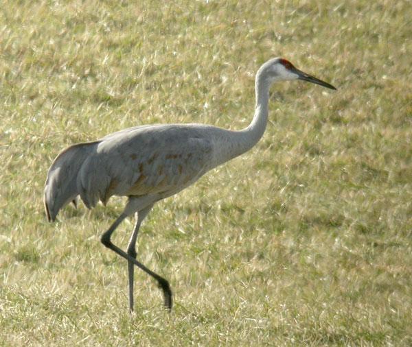 Sandhill Crane 1126
