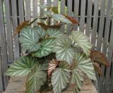 Begonia Gray Ghost